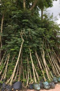 Hình Ảnh Cây Lim Xẹt (Phượng Vàng, Muồng Kim Phượng) - Cây Bóng Mát - Cty TNHH Cây Xanh Đông Thuận Đông
