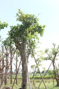 Hình Ảnh Cây Bằng Lăng Tím (Bằng Lăng Nước) - Cây Bóng Mát - Cty TNHH Cây Xanh Đông Thuận Đông
