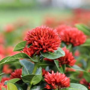Hình Ảnh Cây Hoa Trang Sen Đỏ (Mẫu Đơn) - Hoa Công Trình Các Loại - Cty TNHH Cây Xanh Đông Thuận Đông