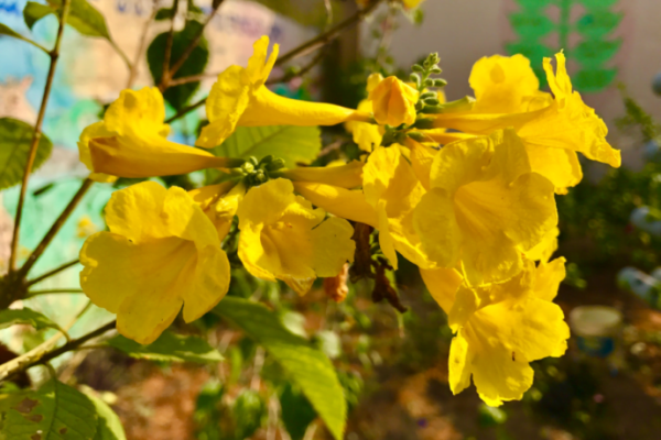 Hình Ảnh Cây Chuông Vàng - Cây Bóng Mát - Cty TNHH Cây Xanh Đông Thuận Đông