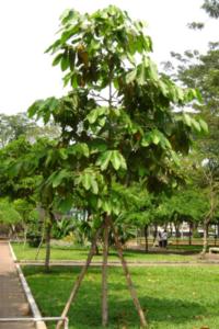 Hình Ảnh Cây Dầu Rái - Cây Bóng Mát - Cty TNHH Cây Xanh Đông Thuận Đông