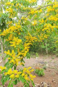 Hình Ảnh Cây Giáng Hương (Dáng Hương) - Cây Bóng Mát - Cty TNHH Cây Xanh Đông Thuận Đông