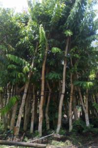 Hình Ảnh Cây Lim Xẹt (Muồng Kim Phượng) - Cây Bóng Mát - Cty TNHH Cây Xanh Đông Thuận Đông